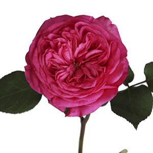 Garden Roses - Baronesse (36 stems)