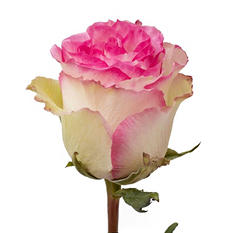 Roses - Bi-Color White and Pink - 50 Stems