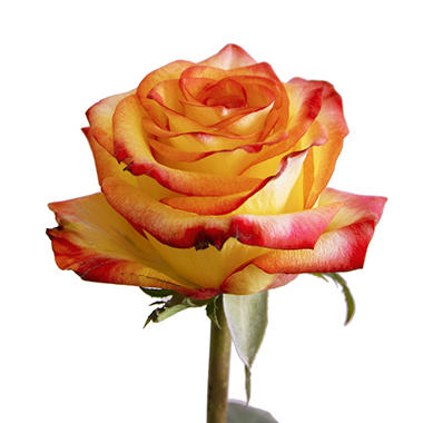 Roses - Bi-Color Yellow and Red - 50 Stems