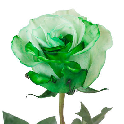 Roses -Tinted Green and White