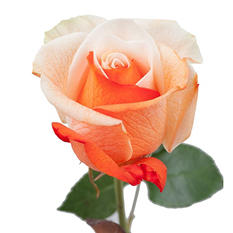 Roses - Tinted Orange and White