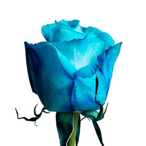 Roses - Tinted Turquoise (50 or 100 stems)