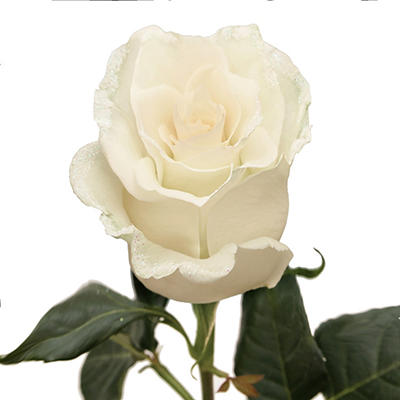 Roses - White with Iridescent Glitter