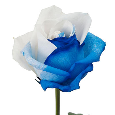 Roses - Tinted Blue and White