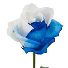 Roses, Tinted Blue and White (50 or 100 stems)