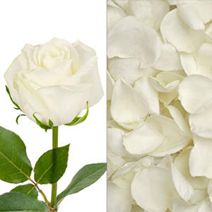 Roses and Petals Combo - White (75 stems)