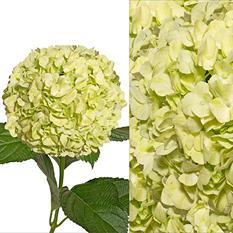 Hydrangeas/Petals Combo - Lime Green