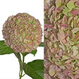 Hydrangeas/Petals Combo - Antique Green