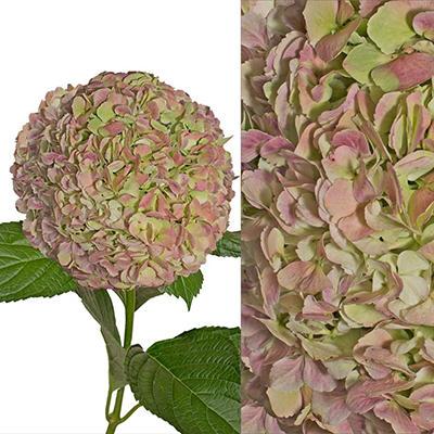 Hydrangeas/Petals Combo - Antique Green