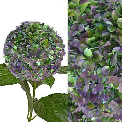 Hydrangeas/Petals Combo - Hulk