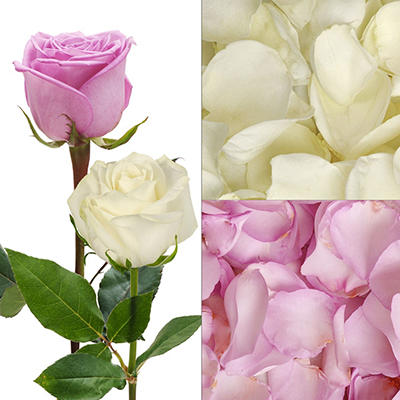 Roses and Petal Combo Box - Lavender and White - 75 Stems