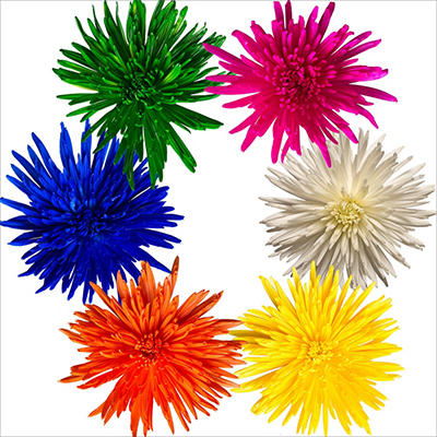 Spider Mums - Painted Spring Assorted - 100 Stems
