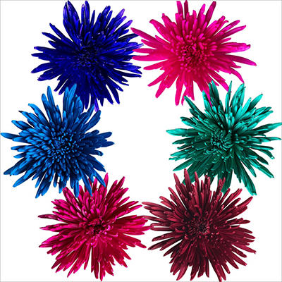 Spider Mums – Painted Summer Assorted – 100 Stems