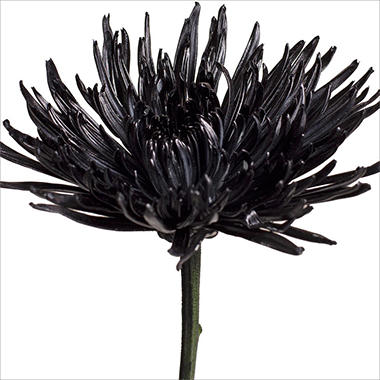 Spider Mums - Painted Black - 100 Stems