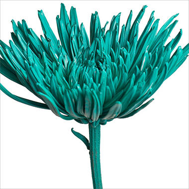 Spider Mums - Painted Aquamarine - 100 Stems