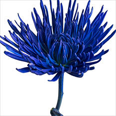 Spider Mums - Painted Dark Blue - 100 Stems