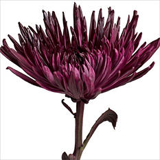 Spider Mums - Painted Grape - 100 Stems