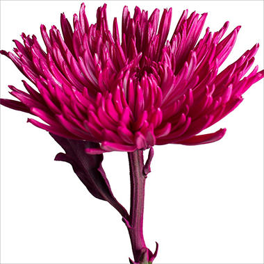 Spider Mums - Painted Magenta - 100 Stems