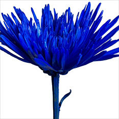 Spider Mums - Painted Patriotic Blue - 100 Stems