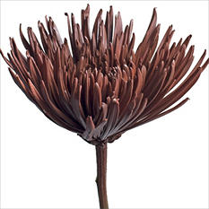 Spider Mums - Painted Brown - 100 Stems
