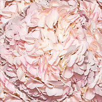 Hydrangeas - Hand Painted Light Pink - 26 Stems