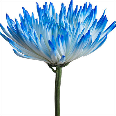 Spider Mums - White Painted Light Blue - 100 Stems