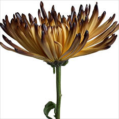 Spider Mums - Painted Peach Brown - 100 Stems