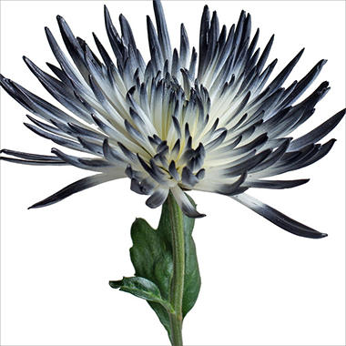 Spider Mums - White Painted Black - 100 Stems