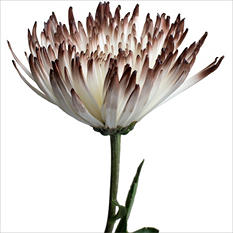 Spider Mums - White Painted Brown - 100 Stems