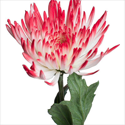Spider Mums - White Painted Red - 100 Stems