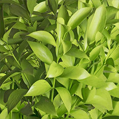 Ruscus - Painted Pastel Lime Green - 120 Stems