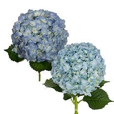 Hydrangeas - Blue Combo - 20 Stems