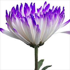 Spider Mums - White Painted Purple - 100 Stems