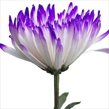 Spider Mums - White Painted Purple - 100 Stems