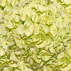 Hydrangeas - Hand Painted Lemon Green - 26 Stems