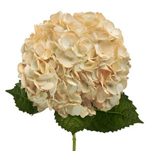 Hydrangeas - Hand Painted Peach - 26 Stems