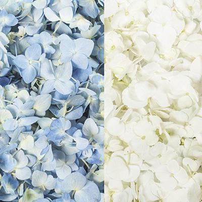 Hydrangea Petals-Blue & White-16  pk.