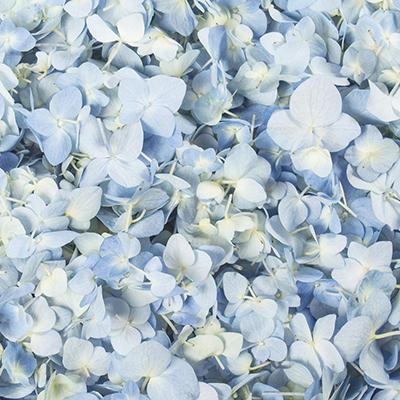 Hydrangea Petals-Blue-26 pk.