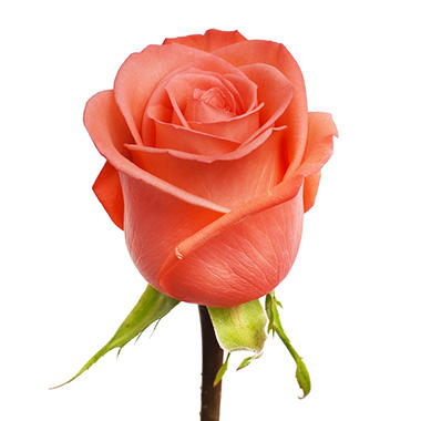 90 cm Stem Roses -  Movie Star (100 stems)