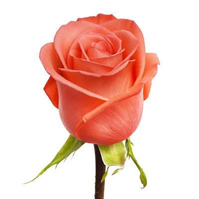 Roses -  Movie Star - 100 Stems