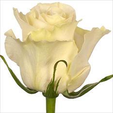 Roses - Mondial - 100 Stems