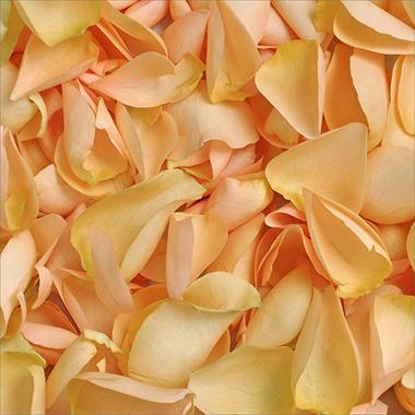 Rose Petals - Peach