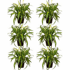 "6 Pack - 8"" Spider Plant Hanging Baskets"
