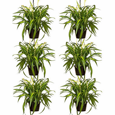 "8"" Spider Plant Hanging Baskets - 6 pk."