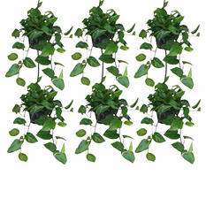 "6 Pack - Pothos Jade 8"" Hanging Baskets"