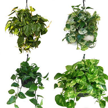 "8"" Hanging Baskets  - Assortment #1 - 6 Pack"