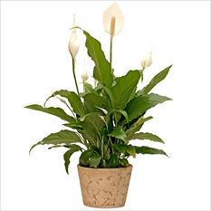 "6"" Rustic Terracota Spath Planter"