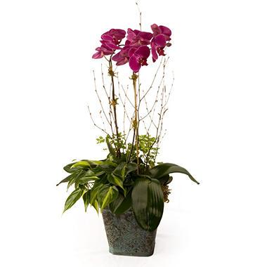 "7"" Phalaenopsis Garden"