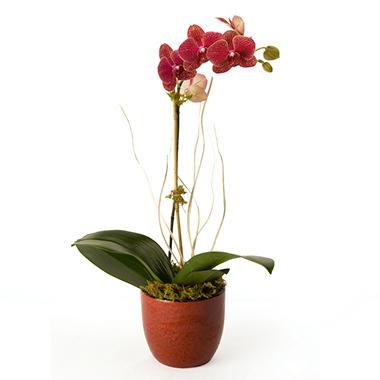 "5"" Phalaenopsis Garden"