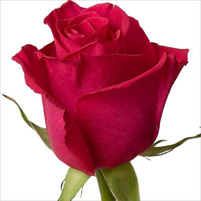 Roses - High & Mora - 100 Stems